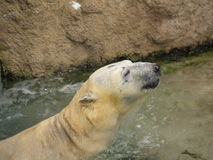 Polar bear. A polar bear enjoying cooling water in Asahikawa Zoo in Hokkaido, Japan Stock Images