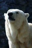 Polar bear. Head of the Polar bear stock images