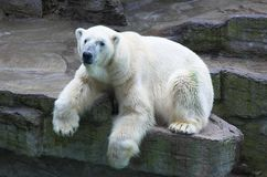 Polar Bear. A polar bear resting on rock above a water feature in a zoo stock image