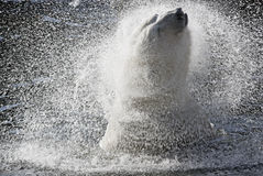 Polar Bear. Splashing in water Royalty Free Stock Photo