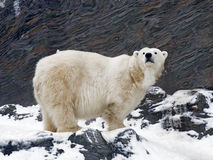 Polar Bear. On rock - Ursus maritimus stock photography