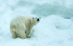 Polar bear. White polar bear against snow mountain stock photos