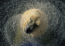 Polar bear. The biggest land predator on earth...Polar bear Stock Image