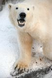 Polar bear. The largest land mammal, the representative of the detachment of prey. Its length reaches 3 meters and weight up to 800 kg. The smallest bears are Stock Photo