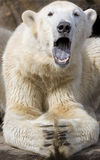 Polar Bear. Portrait of Polar Bear yawning with open mouth Royalty Free Stock Photography