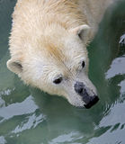 Polar bear 14 Stock Image
