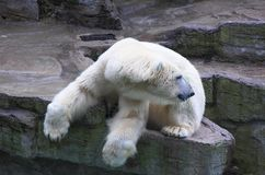 Polar Bear. A polar bear resting on rock above a water feature in a zoo stock images