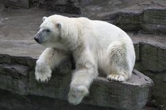 Polar Bear. A polar bear resting on rock above a water feature in a zoo stock photography