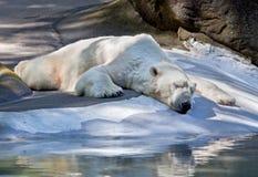 Polar Bear. Sleeping polar bear with huge paws Royalty Free Stock Photo