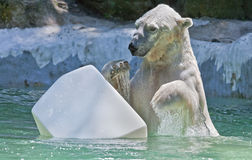 Polar Bear Stock Images
