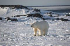 Polar bear. On frozen tundra (Arctic, Spitsbergen stock image