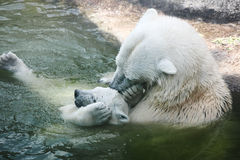 Polar bear. In zoo park royalty free stock images