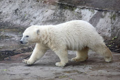 Polar bear. In  zoo park Stock Photography