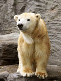 Polar bear. Young polar bear standing on a rock royalty free stock image