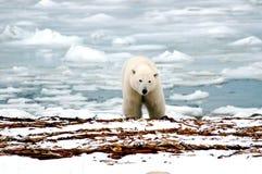 Polar Bear. A polar bear with ice in the back ground stock photos