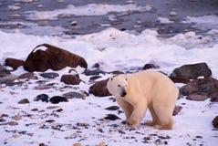 Polar bear. On shore of Hudson's Bay, Canada Royalty Free Stock Photography