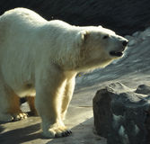Polar bear. The polar bear is the world's largest land carnivore, living generally within the arctic circle Stock Images