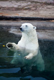 The Polar bear Royalty Free Stock Photography