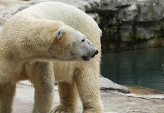 Polar bear. Side view of polar bear with rocks and water in background Stock Image