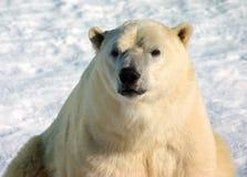 Polar bear. Portrait with snow background Royalty Free Stock Photo