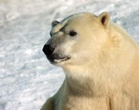 Polar bear. Portrait with snow background Royalty Free Stock Images