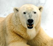 Polar bear smiling - photo#19