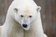 Polar bear Royalty Free Stock Photography
