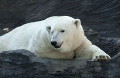 Polar bear. Laying on the rock stock photography