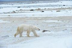 Polar bear. Polar bear in a native habitat. Snow. A frost. Winter stock images