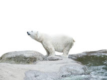 Polar bear. Stand on the rocks near the pond, isolated over white Stock Image