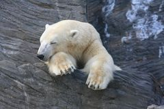 Polar bear. Sleeping on the rock Stock Image