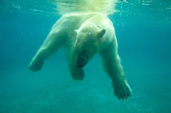 Polar bear. Under the water Stock Photos