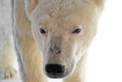 Polar bear. Head of the big polar bear Stock Photography