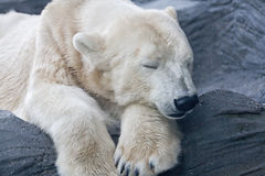 Polar bear. Sleeping on the stone in ZOO Royalty Free Stock Photo