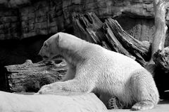 Polar Bear. Lounging polar bear in black and white Stock Photo