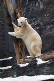 Polar Bear. Ursus maritimus, zoo Prag stock images