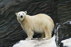 Polar Bear. Ursus maritimus, zoo Prag stock photography