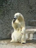 Polar she-bear Stock Photo