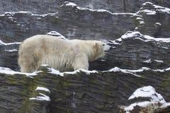 Polar bear. The walking polar bear (Ursus maritimus) on the rocky surface royalty free stock photography