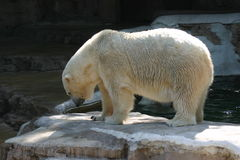 Polar Bear. At the zoo royalty free stock image