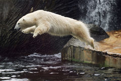 Free Polar Bear Stock Image - 1889071