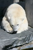 Polar bear. Detail view of a large polar bear stock photography