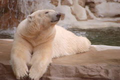 Polar bear. A polar bear relaxing in a zoo royalty free stock photography