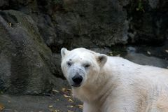 Polar Bear. Giving a look Stock Images