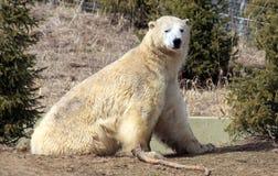 Polar Bear. A polar bear sitting in the sun Stock Images