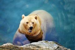 Polar Bear. Beautiful polar bear swimming in the pool Stock Image
