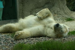 The Polar Bear 2. A polar bear rolling around on the ground stock photography