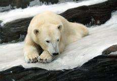 Free Polar Bear Royalty Free Stock Photo - 2008435