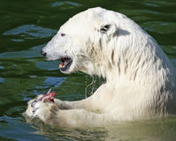 Polar Bear. In water eating meat Stock Photo