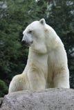 Polar bear. The polar bear sitting on the rock royalty free stock photography